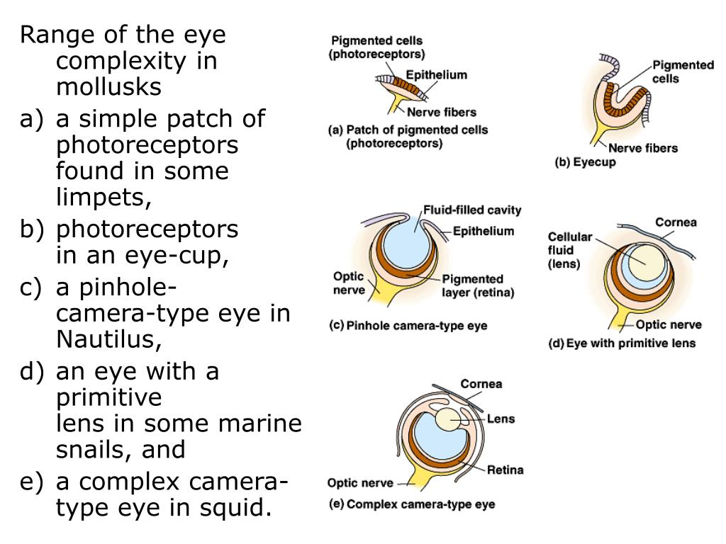 Range of the eye complexity in mollusks