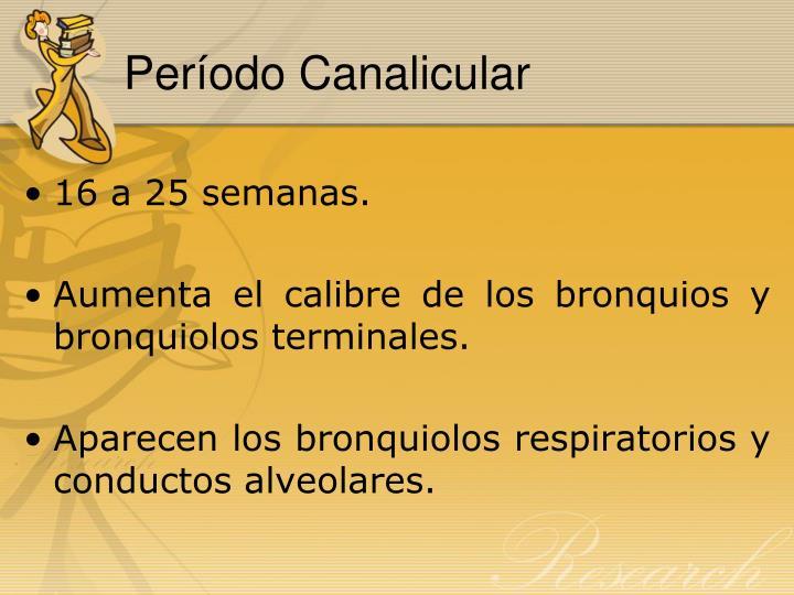 Período Canalicular