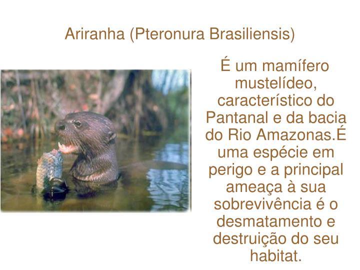 Ariranha (Pteronura Brasiliensis)