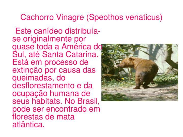 Cachorro Vinagre (Speothos venaticus)