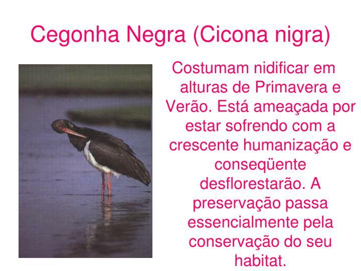 Cegonha Negra (Cicona nigra)