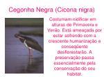 cegonha negra cicona nigra
