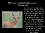 cervo do pantanal blastocerus dichotomus
