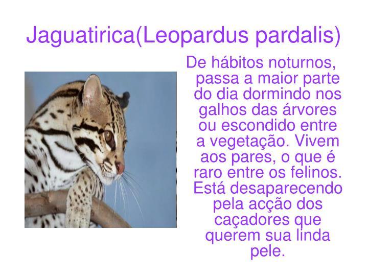 Jaguatirica(Leopardus pardalis)