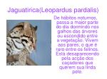 jaguatirica leopardus pardalis