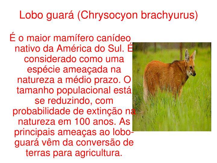 Lobo guará (Chrysocyon brachyurus)
