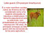 lobo guar chrysocyon brachyurus