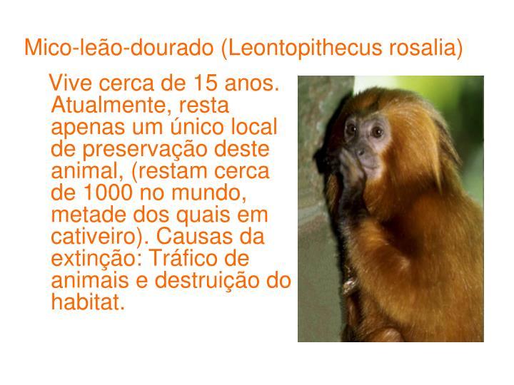 Mico-leão-dourado (Leontopithecus rosalia)