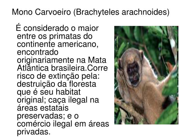 Mono Carvoeiro (Brachyteles arachnoides)