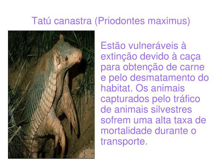 Tatú canastra (Priodontes maximus)