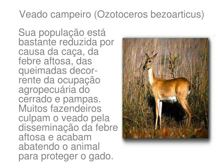 Veado campeiro (Ozotoceros bezoarticus)
