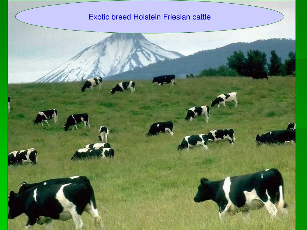 Exotic breed Holstein Friesian cattle