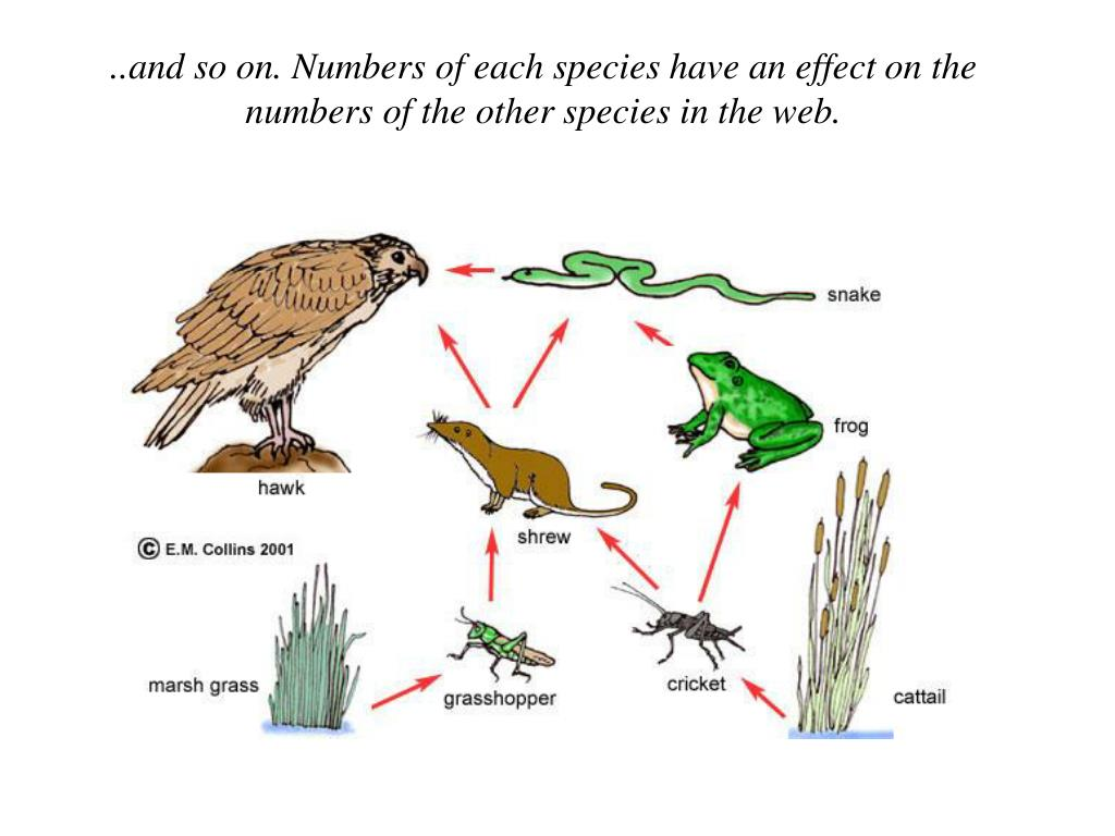..and so on. Numbers of each species have an effect on the numbers of the other species in the web.