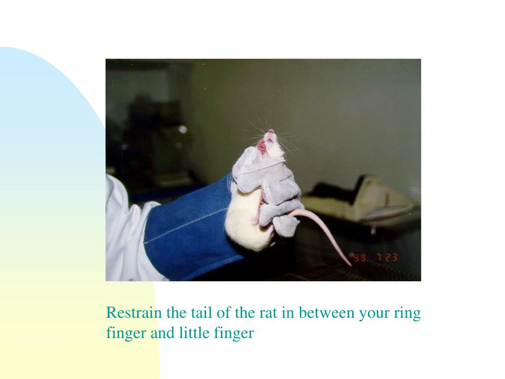 Restrain the tail of the rat in between your ring finger and little finger