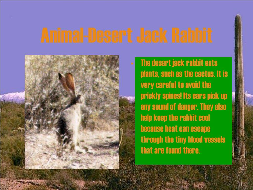 Animal-Desert Jack Rabbit
