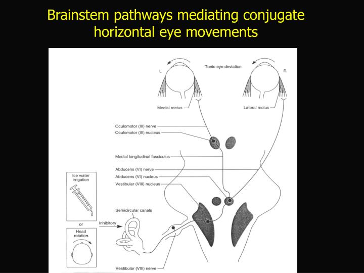 Brainstem pathways mediating conjugate horizontal eye movements