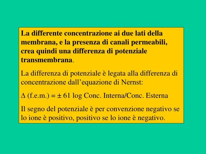 La differente concentrazione ai due lati della membrana, e la presenza di canali permeabili, crea quindi una differenza di potenziale transmembrana