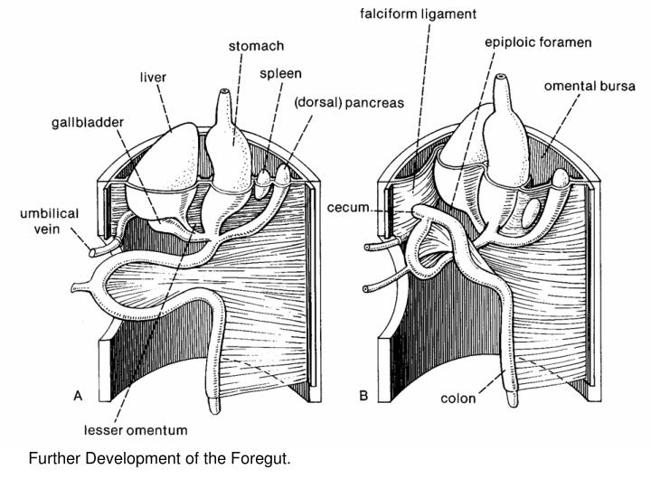 Further Development of the Foregut.