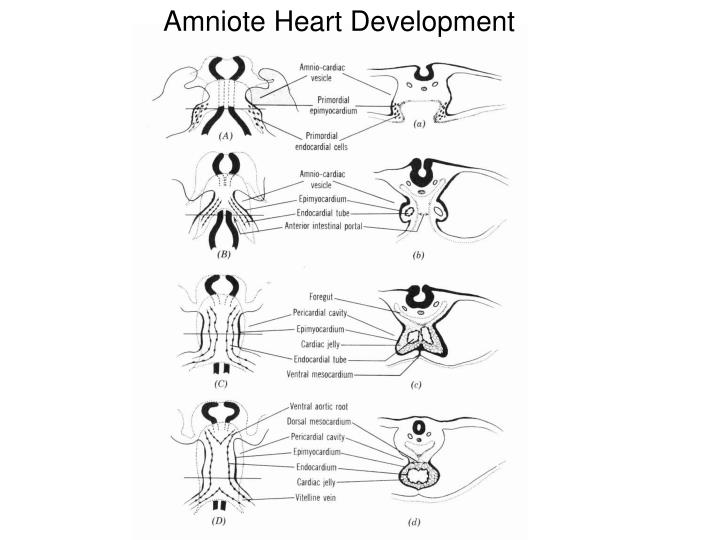 Amniote Heart Development