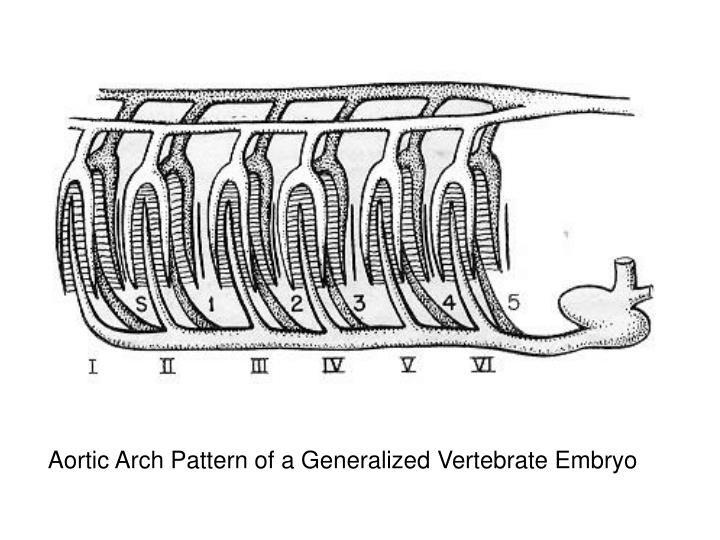 Aortic Arch Pattern of a Generalized Vertebrate Embryo