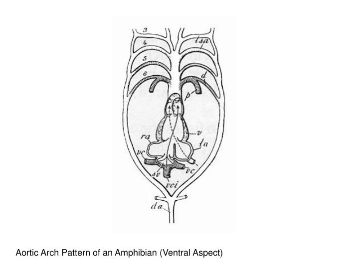 Aortic Arch Pattern of an Amphibian (Ventral Aspect)