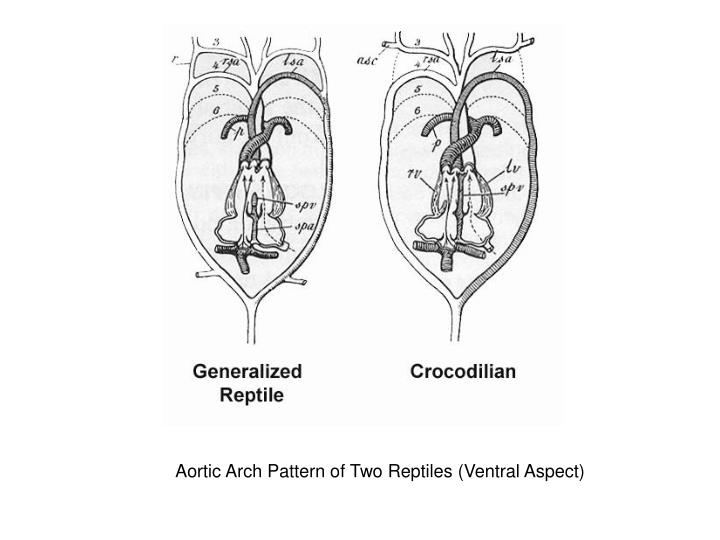 Aortic Arch Pattern of Two Reptiles (Ventral Aspect)