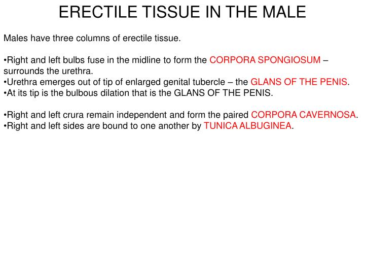 ERECTILE TISSUE IN THE MALE