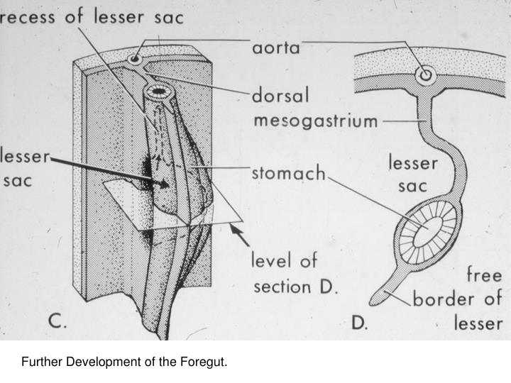 Early Development of the Stomach