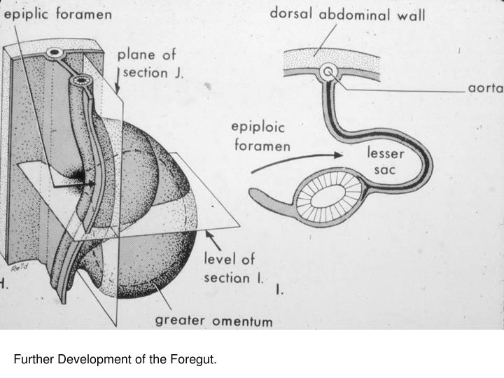 Continued Development of the Stomach