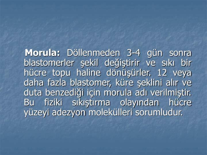 Morula: