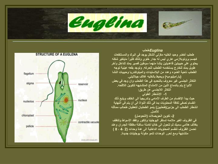 Euglina