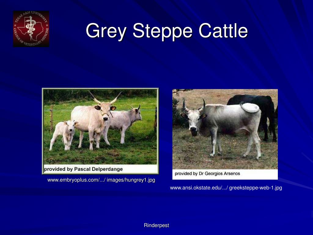 Grey Steppe Cattle