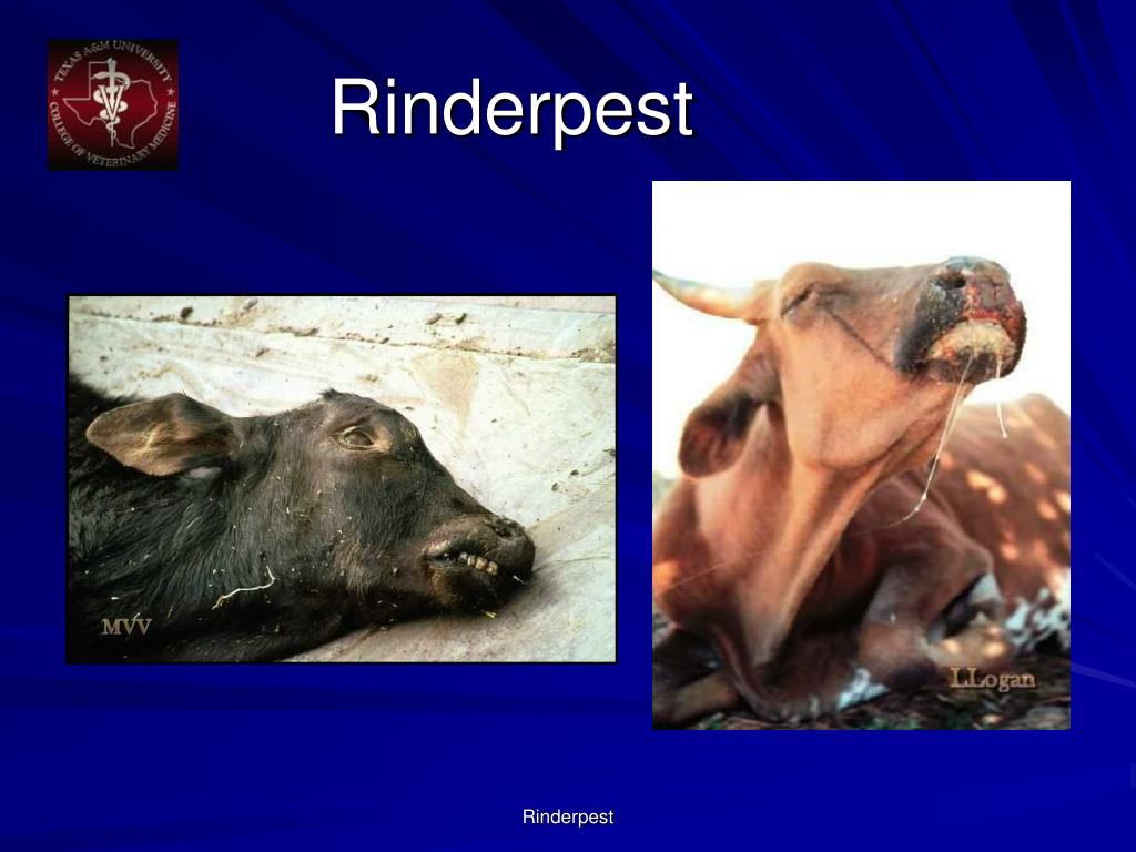 Rinderpest