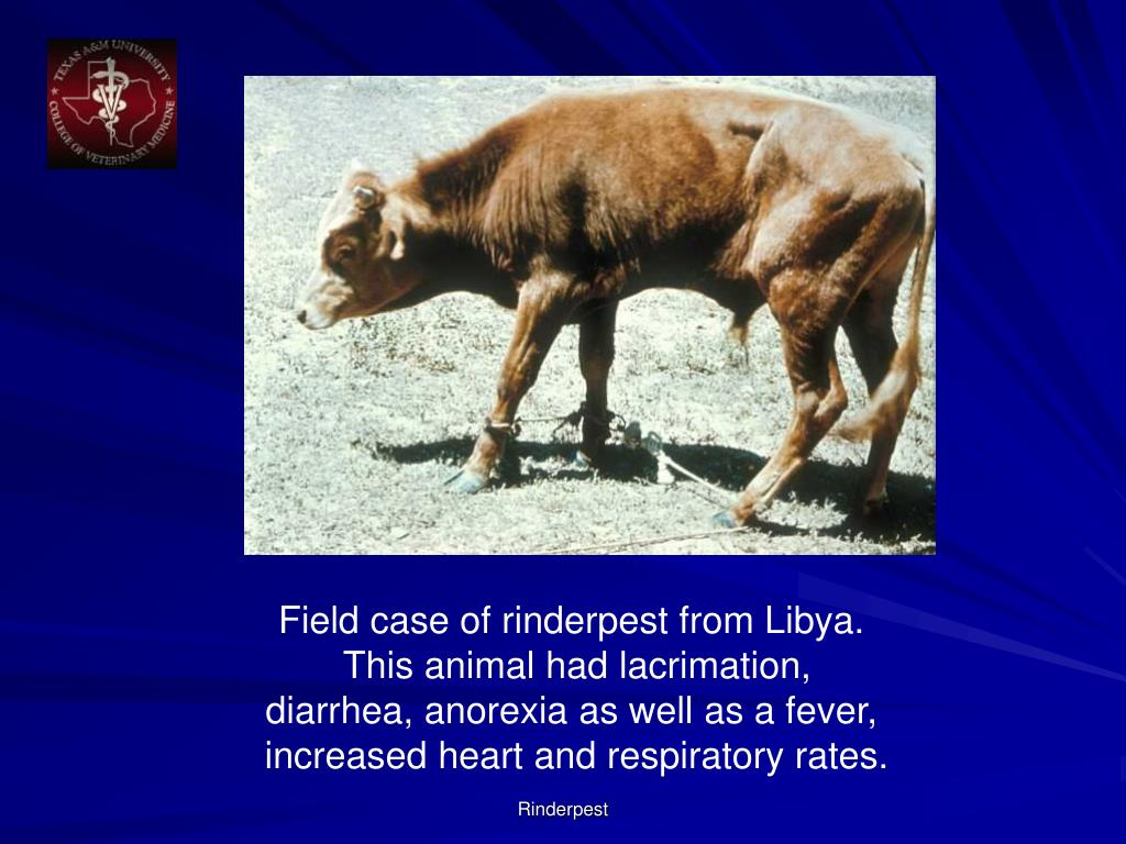 Field case of rinderpest from Libya.