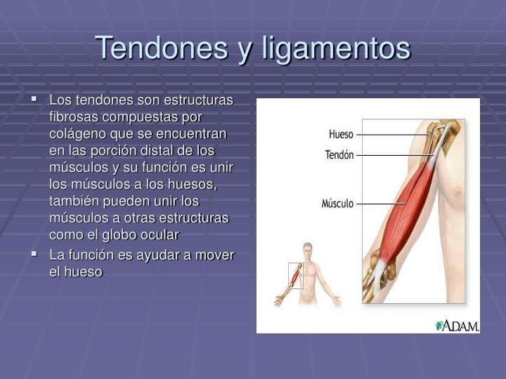 Tendones y ligamentos