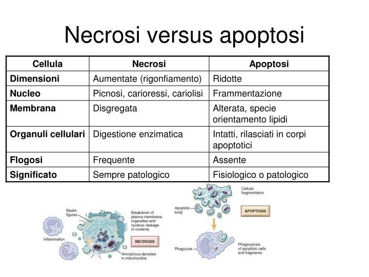 Necrosi versus apoptosi