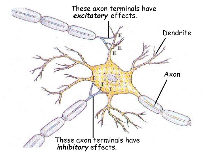 These axon terminals have