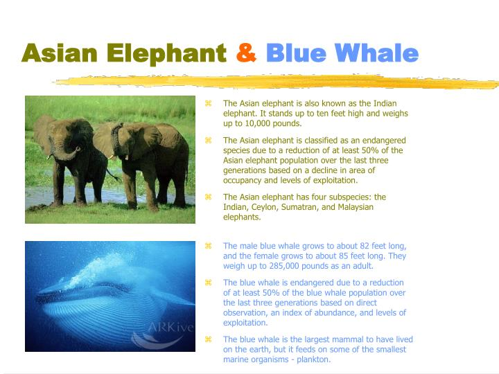 Asian elephant blue whale