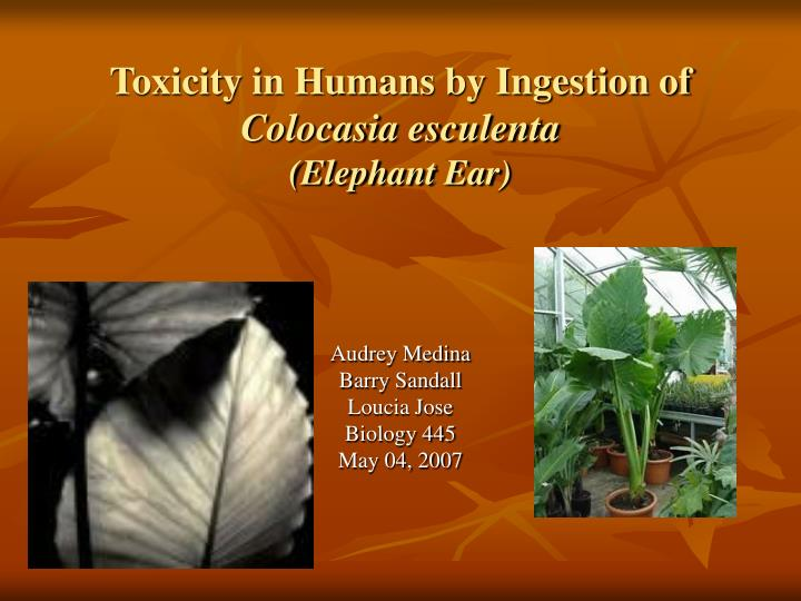Toxicity in humans by ingestion of colocasia esculenta elephant ear