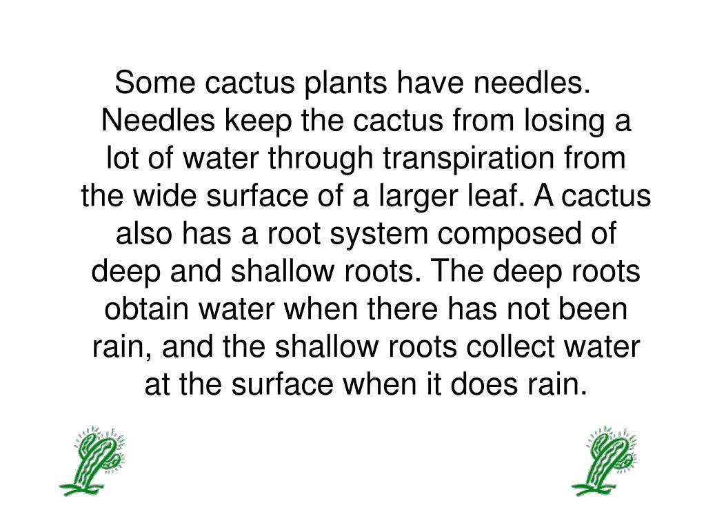 Some cactus plants have needles. Needles keep the cactus from losing a lot of water through transpiration from the wide surface of a larger leaf. A cactus also has a root system composed of deep and shallow roots. The deep roots obtain water when there has not been rain, and the shallow roots collect water at the surface when it does rain.