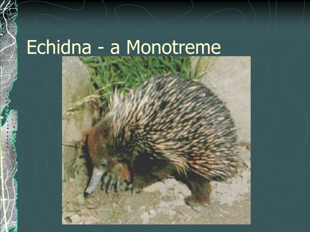 Echidna - a Monotreme