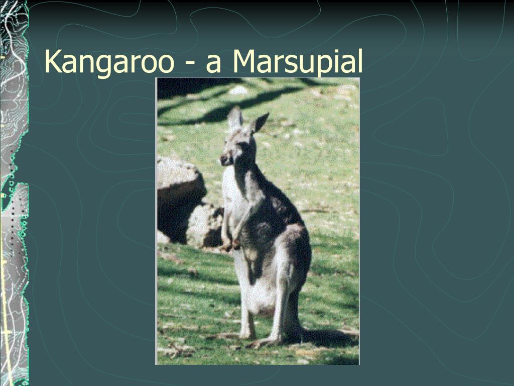 Kangaroo - a Marsupial
