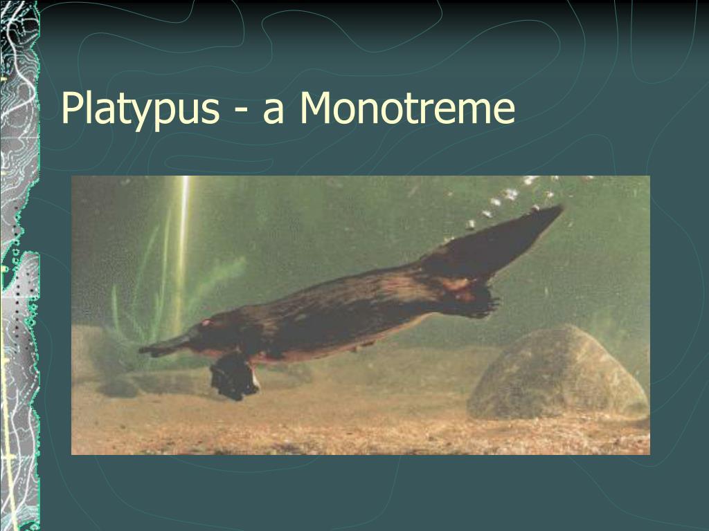 Platypus - a Monotreme