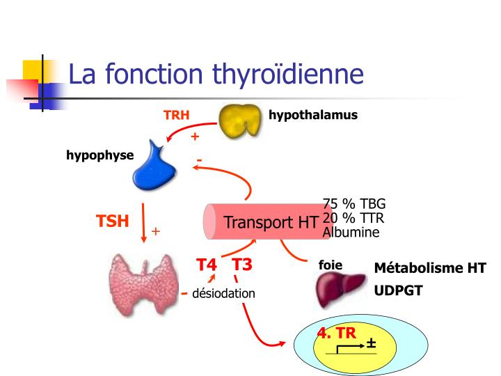 La fonction thyroïdienne