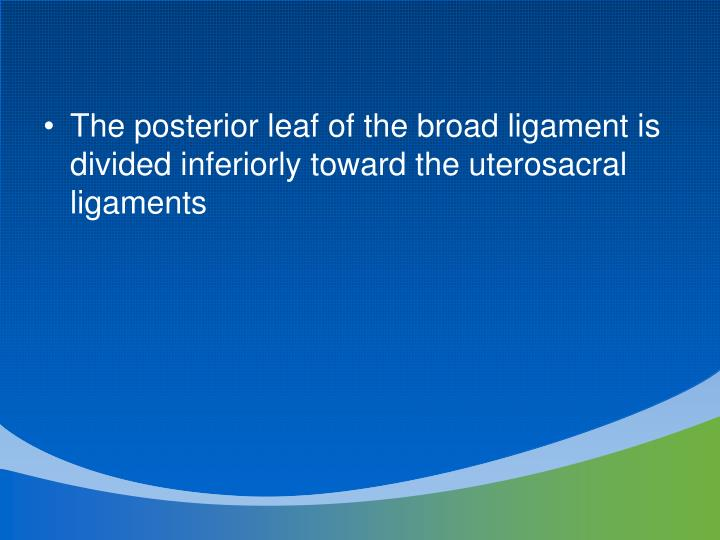 The posterior leaf of the broad ligament is divided inferiorly toward the uterosacral ligaments