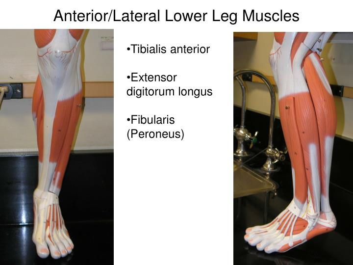 Anterior/Lateral Lower Leg Muscles