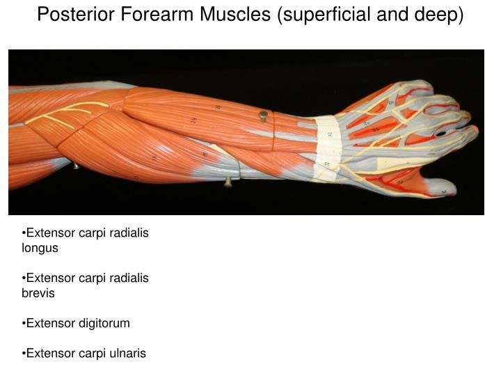Posterior Forearm Muscles (superficial and deep)