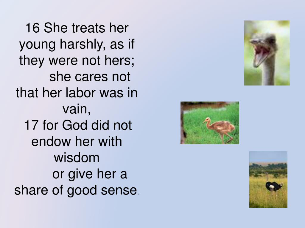 16 She treats her young harshly, as if they were not hers;