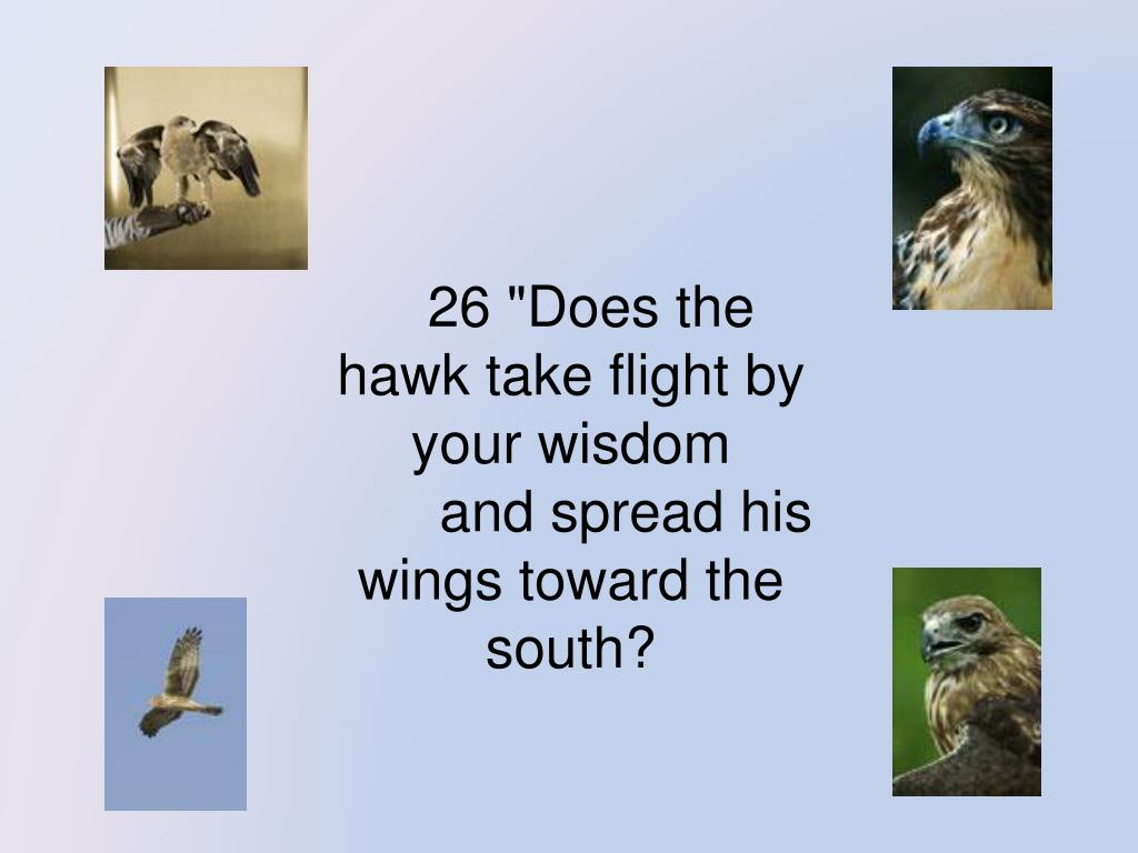 """26 """"Does the hawk take flight by your wisdom"""