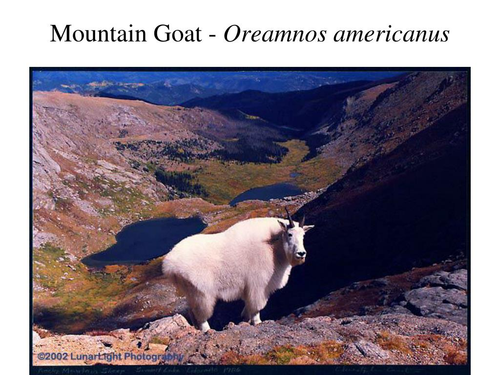 Mountain Goat -